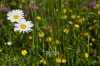 Cvetoči travniki