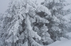 Pomrznjena drevesa