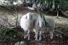 Tudi ovce je zanimal geocache